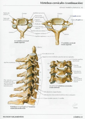cervicales